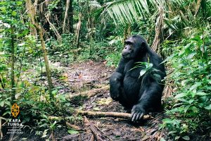 Kara-Tunga Uganda Tours Kibale Forest Chimp Tracking Tour
