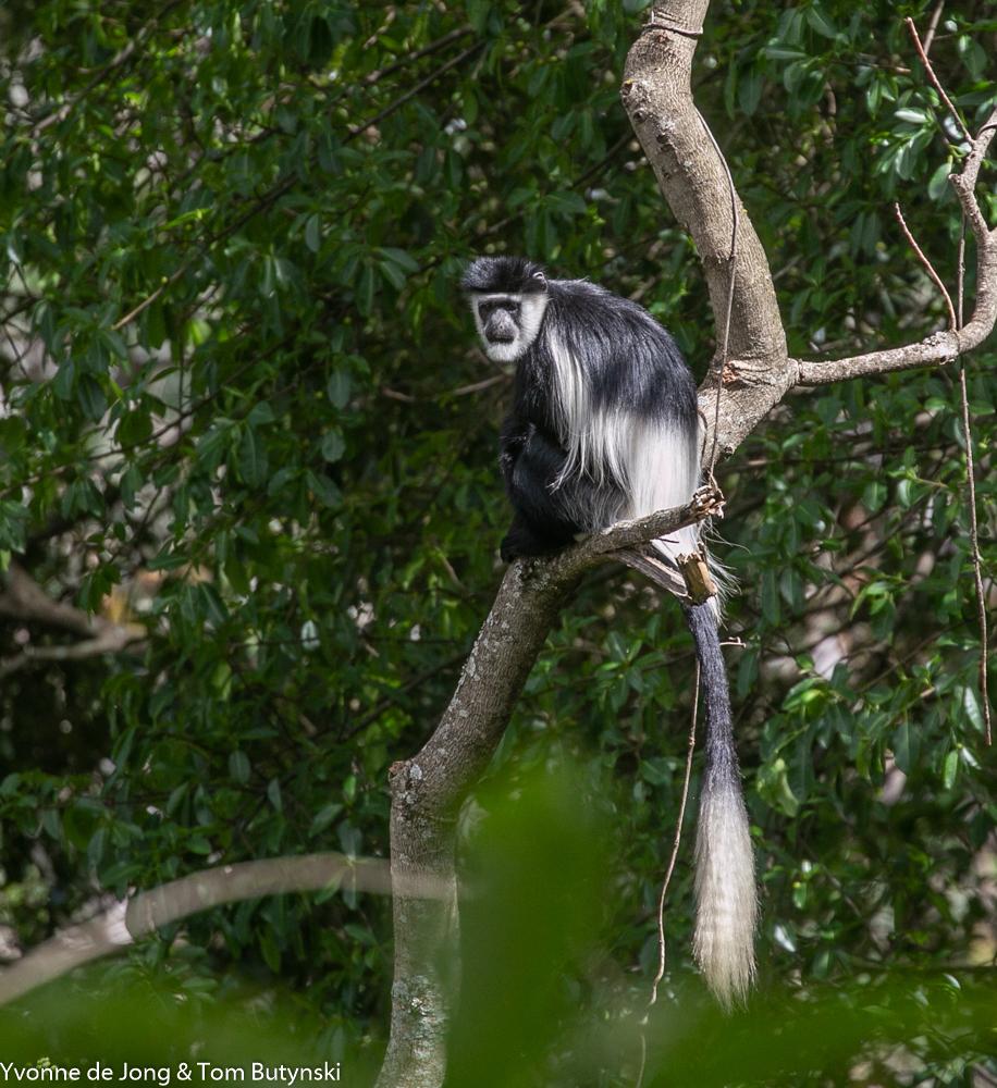 Mau Forest Guereza Colobus guereza Mt KAdam Uganda 2