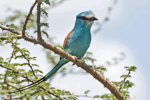 kara-tunga-karamoja-uganda-tours-birding-Abysinian-Roller
