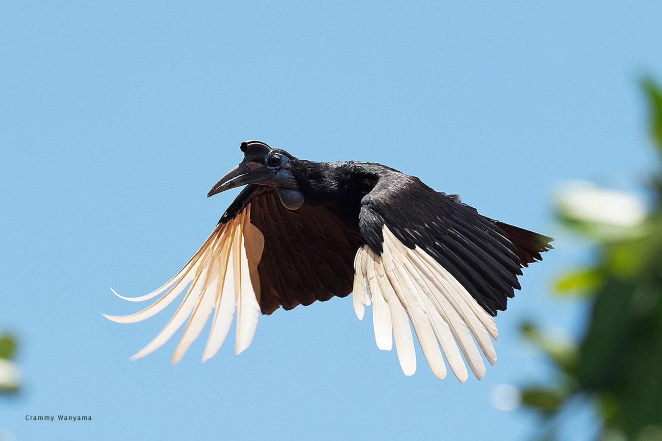 kara-tunga-karamoja-uganda-tours-birding-Abyssinian-ground-hornbill