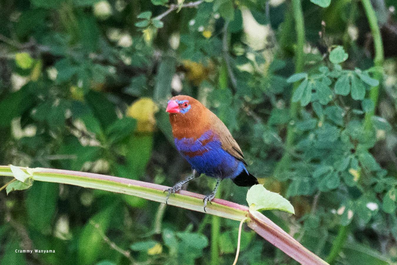 kara-tunga-karamoja-uganda-tours-birding-Purple-Grenadier