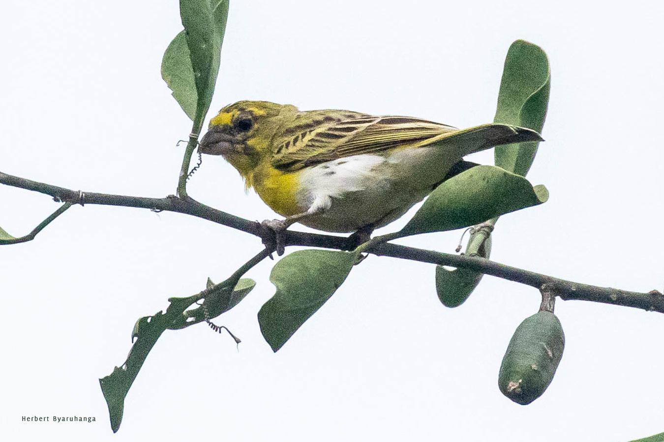 kara-tunga-karamoja-uganda-tours-birding-White-bellied-Canary