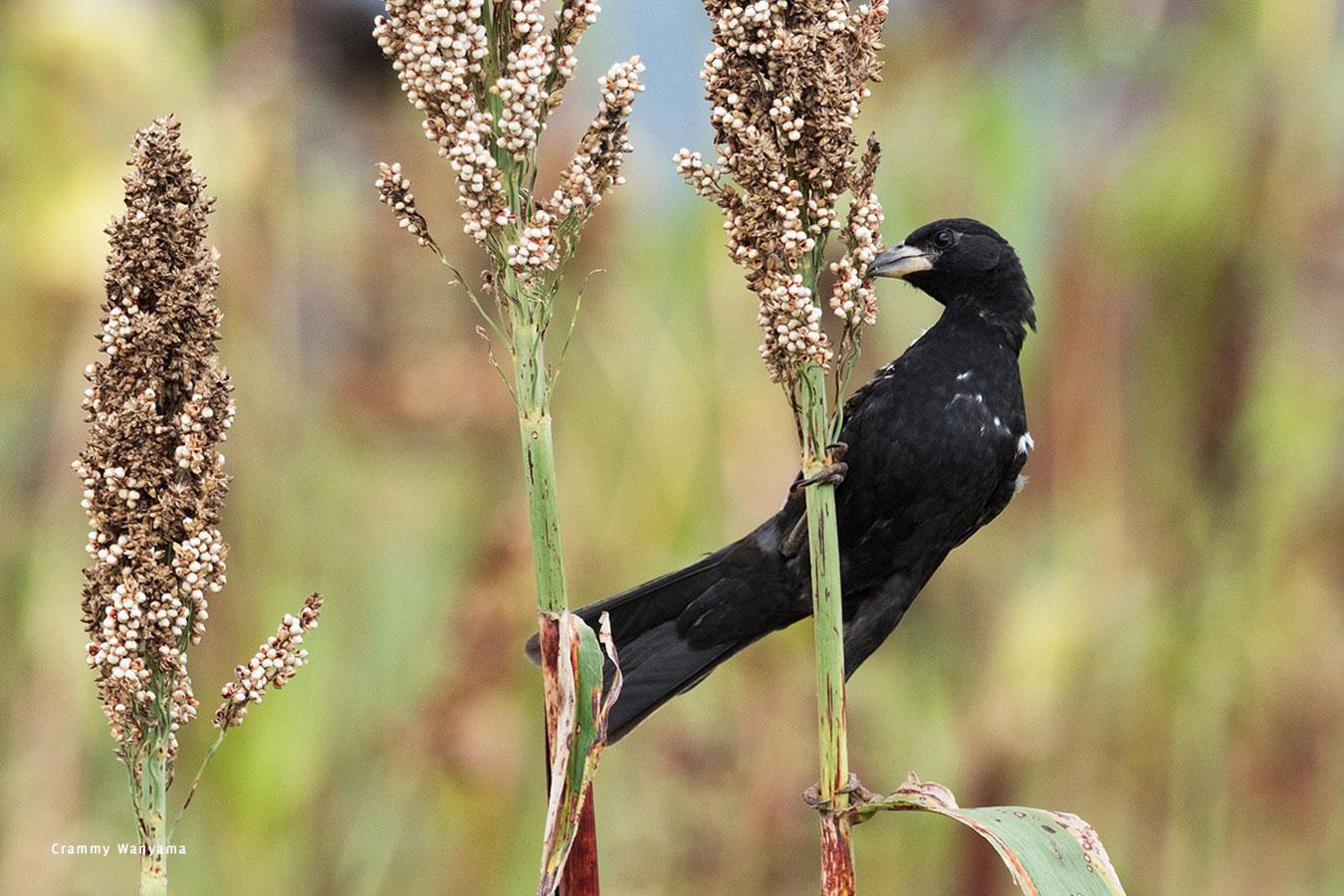 kara-tunga-karamoja-uganda-tours-birding-White-billed-Buffalo-Weaver