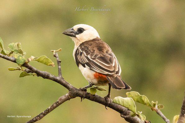 kara-tunga-karamoja-uganda-tours-birding-White-browed-robin-chat