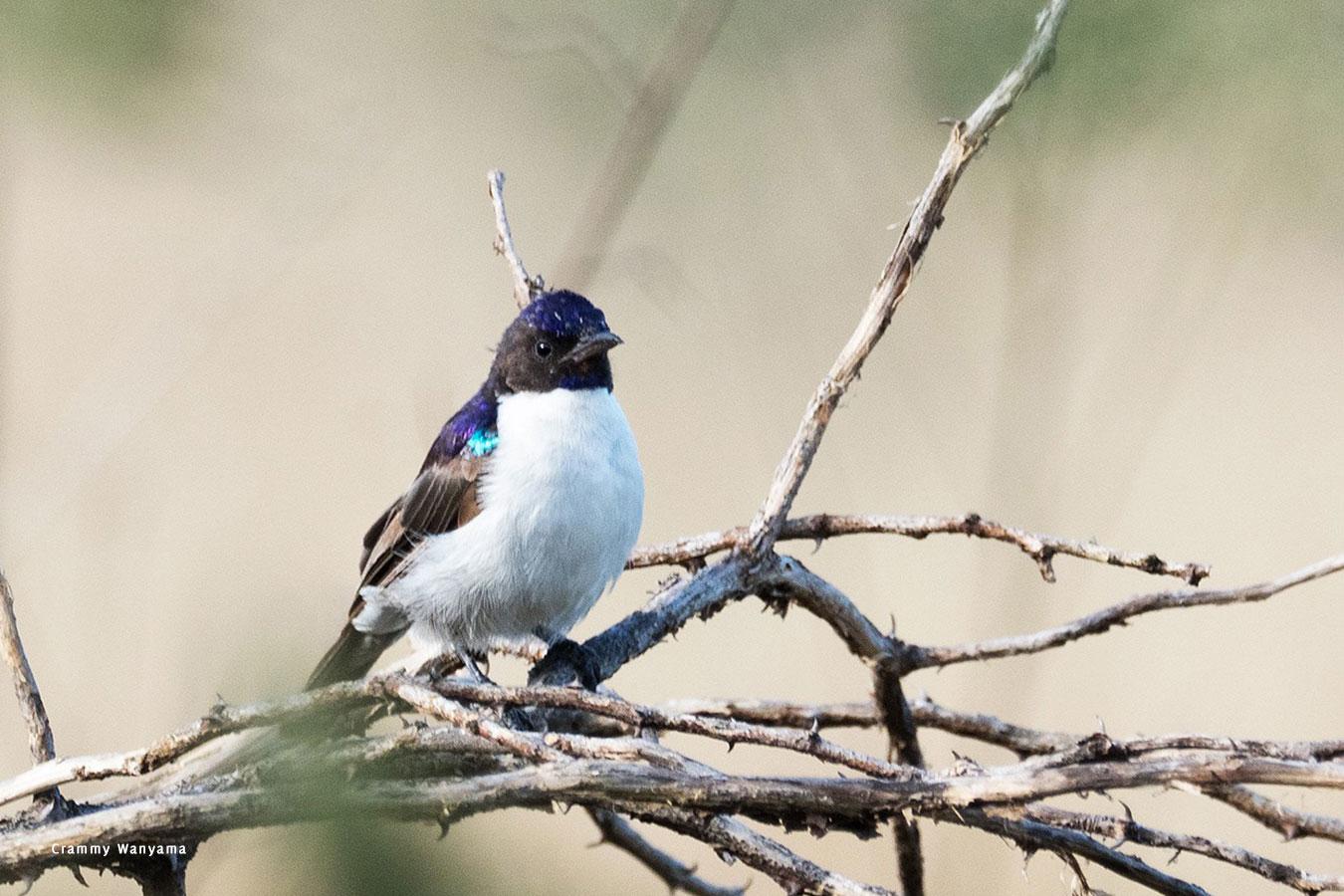 kara-tunga-karamoja-uganda-tours-birding-female-Kenya-Violet-backed-Sunbird