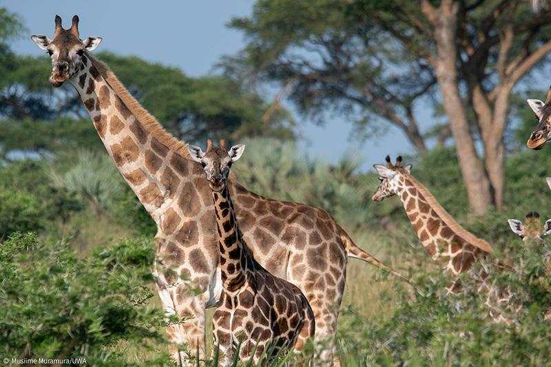 Giraffe-Nubian-Pian-Upe