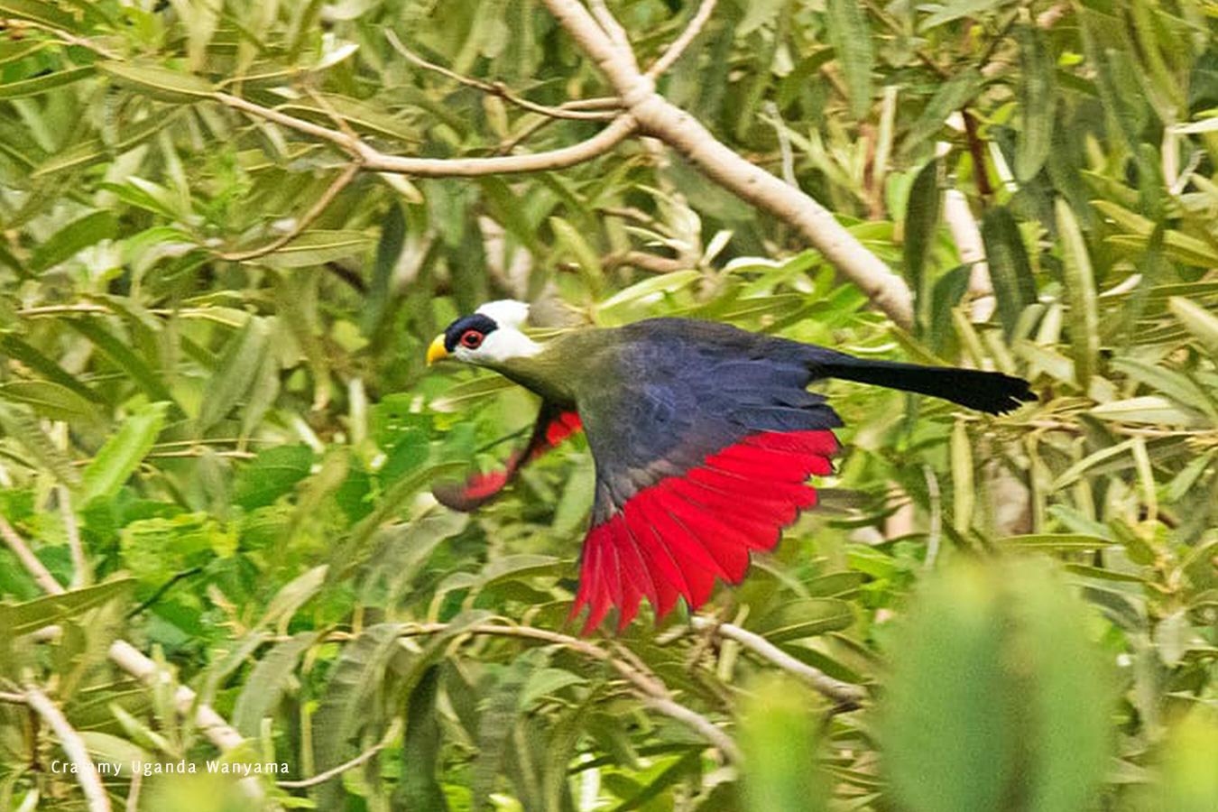 white-crested-turaco-mount-moroto-uganda-crammy-wanyama