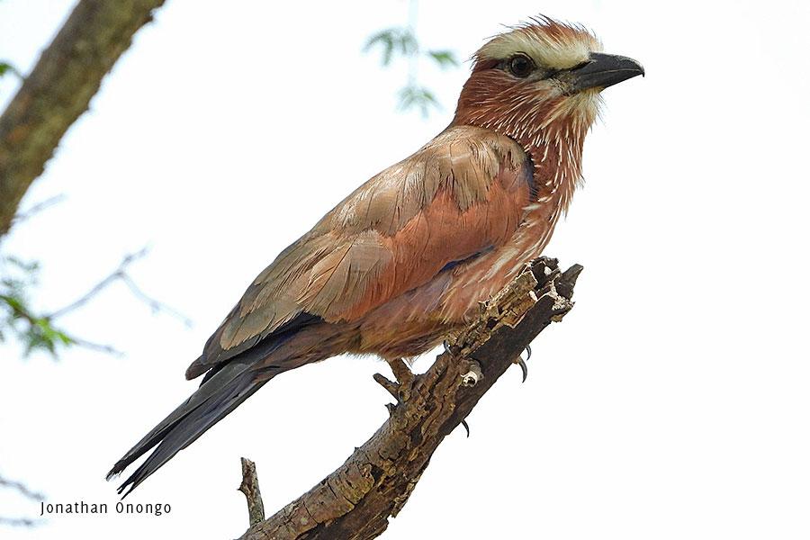 Birds-of-Karamoja-Northeastern-Uganda-Rufous-Crowned-Roller-Matheniko-Reserve