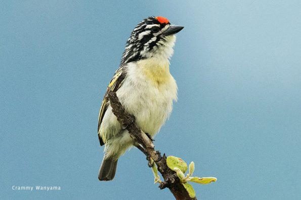 Crammy-Wanyama-Red-fronted-Tinkerbird-Birding-Karamoja-Northeastern-Uganda