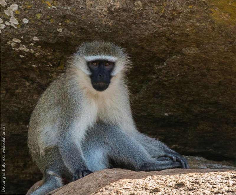Adult-male-Hilgert's-vervet-monkey-Chlorocebus-pygerythrus-hilgerti,-Kumi,-east-Uganda.