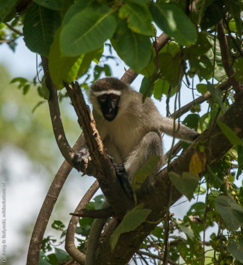 Adult male vervet monkey Chlorocebus pygerythrus east of Pian Upe Game Reserve, central east Uganda