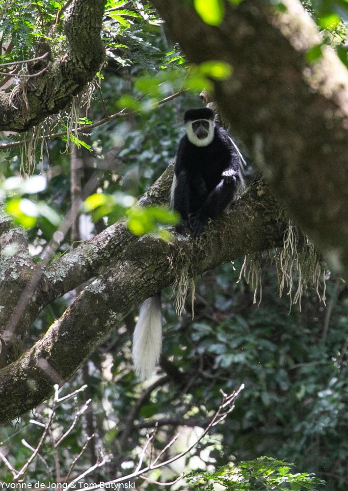 Mau Forest guereza (Colobus guereza matschiei), Mnt Kadam, Uganda