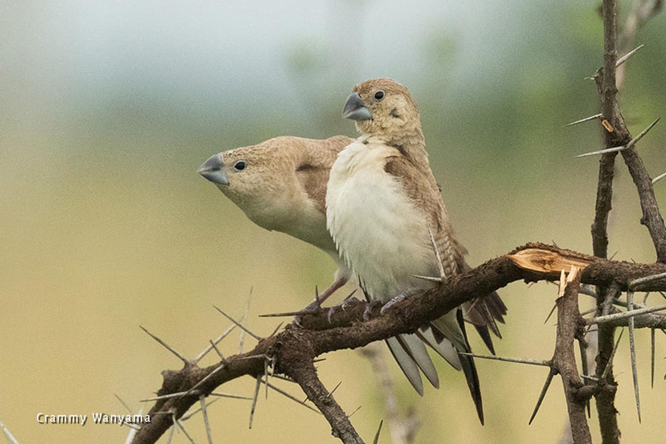 kara-tunga-karamoja-northeastern-uganda-bird-watching-African-Silverbill-Bokora-Matheniko